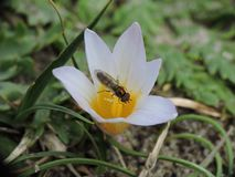 Zanzara che succhia nettare su un fiore bianco Fotografie Stock
