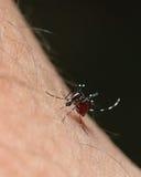 Zanzara del Aedes Fotografia Stock