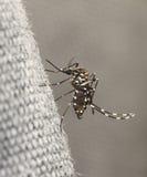 Zanzara della tigre immagine stock