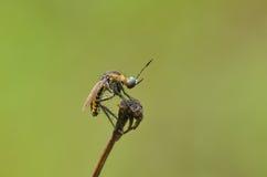 Zanzara della tigre Fotografia Stock