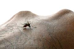 Zanzara di aedes aegypti Chiuda su una zanzara che succhia il sangue umano immagine stock