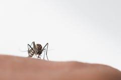 Zanzara di aedes aegypti Chiuda su una zanzara che succhia il sangue umano Immagini Stock