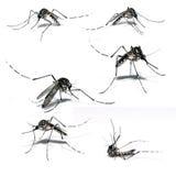 Zanzara di febbre rompiossa Fotografia Stock