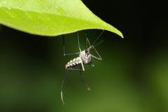 Zanzara di malaria Fotografie Stock Libere da Diritti