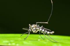 Zanzara in Malesia Immagini Stock