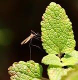 Zanzara maschio Fotografia Stock