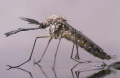 Zanzara maschio appena nata Fotografie Stock