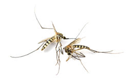 Zanzara morta su fondo bianco isolato Fotografia Stock Libera da Diritti