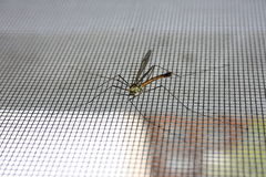 Zanzara su zanzariera foto Fotografia Stock
