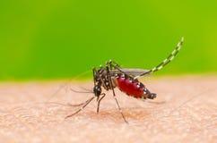 Zanzara sull'essere umano della pelle Fotografia Stock