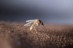 Zanzara tropicale Fotografia Stock