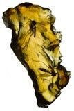 Zanzare bloccate in ambra Fotografia Stock