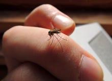 Zanzare ematofaghe (Culicidae) su una vittima Immagine Stock Libera da Diritti