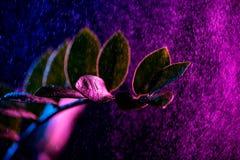 zanzibar πολύτιμος λίθος houseplant με τις ρόδινες πτώσεις, στοκ φωτογραφία με δικαίωμα ελεύθερης χρήσης