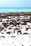 Zanzibar beach  seaweed   indian ocean sailing Stock Photography