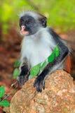 Zanzibar colobus czerwona małpa Obrazy Royalty Free