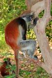 Zanzibar colobus czerwona małpa Zdjęcie Royalty Free