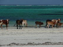 Zanzibar Cows Royalty Free Stock Images