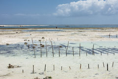Zanzibar cultivation of algae. Royalty Free Stock Image