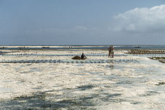 Zanzibar cultivation of algae. Stock Photo
