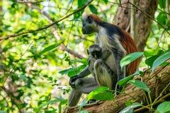 Zanzibar czerwony colobus lub Procolobus kirkii Obrazy Stock