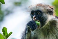 Zanzibar czerwony colobus lub Procolobus kirkii Zdjęcie Royalty Free