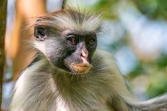 Zanzibar czerwony colobus lub Procolobus kirkii Obrazy Royalty Free