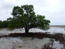 Zanzibar denny brzeg z mangrowe w niskim przypływie Obrazy Royalty Free