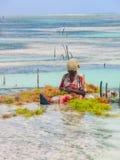 Zanzibar, 2013 : Femme s'asseyant en eau peu profonde moissonnant le seawee Images libres de droits
