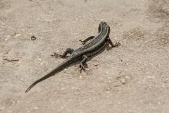 Big lizard on Zanzibar. Tanzania stock photos
