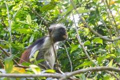 Zanzibar Island Monkey Stock Images