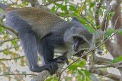 Zanzibar Island Monkey Royalty Free Stock Images