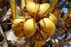 Zanzibar, Nungwi : noix de coco Photographie stock