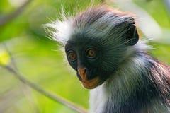 Zanzibar röd colobus Royaltyfria Bilder