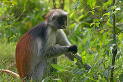 Zanzibar röd colobus Royaltyfri Bild
