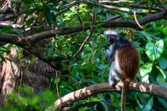 Zanzibar röd colobus eller Procolobus kirkii Arkivfoton