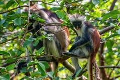 Zanzibar röd colobus eller Procolobus kirkii Royaltyfri Bild