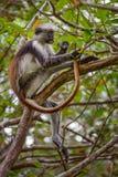 Zanzibar röd Colobus - Piliocolobus kirkii, Tanzania, Zanzibar Fotografering för Bildbyråer