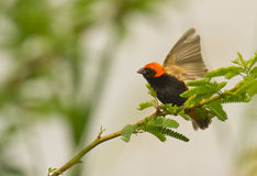 Zanzibar red Bishop with open wings. A Zanzibar Red Bishop with the distinctive red and black colors of his body opens his wings. It belongs to the weaver family royalty free stock photos
