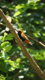 The Zanzibar red bishop is a species of bird in the family Ploceidae. It is found in Kenya, Mozambique, and Tanzania stock image