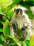 Zanzibar Red Colobus Royalty Free Stock Photography