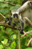 Zanzibar Red Colobus baby Stock Image