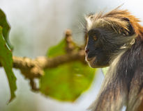 Zanzibar Red Colobus in deep thought Royalty Free Stock Images