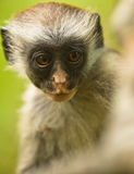 Zanzibar Red Colobus: looking deeply Stock Image