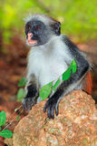 Zanzibar red colobus monkey Royalty Free Stock Images