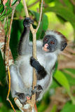Zanzibar red colobus monkey Stock Image