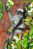 Zanzibar red colobus monkey Royalty Free Stock Photos