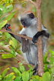 Zanzibar red colobus monkey Stock Images