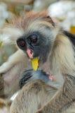 Zanzibar red colobus monkeys Stock Photography