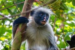 Free Zanzibar Red Colobus Or Procolobus Kirkii Stock Photography - 101246942